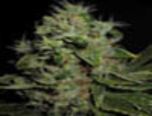 Mazari Marijuana Seeds – Strain Reviews – Seedsman Seeds