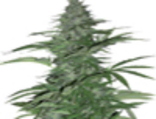 Morning Glory Marijuana Seeds — Strain Reviews — Barney's Farm Seeds