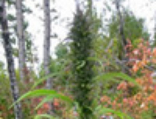 Mountain Bud Marijuana Seeds – Strain Reviews — Canadian Bred Seeds