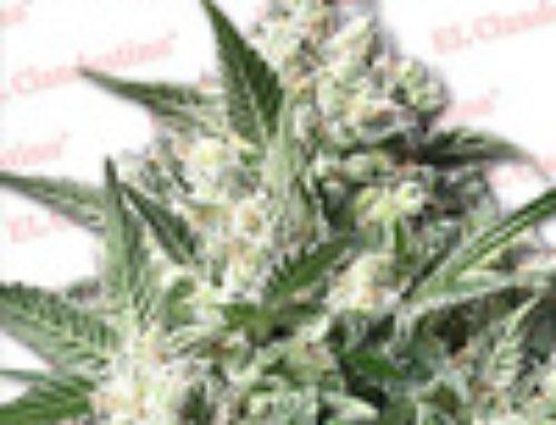Northern Light XXX Marijuana Seeds — Strain Reviews — El Clandestino