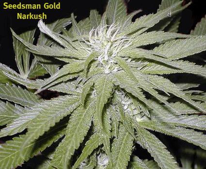 Narkush Marijuana Seeds