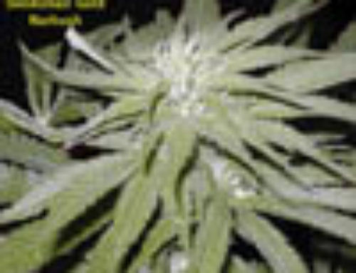 Narkush Marijuana Seeds – Strain Reviews – Seedsman Seeds