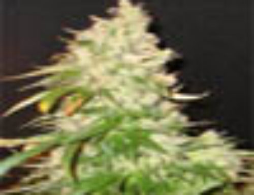 Northern Soul Marijuana Seeds -Strain Reviews – Seedsman Seeds