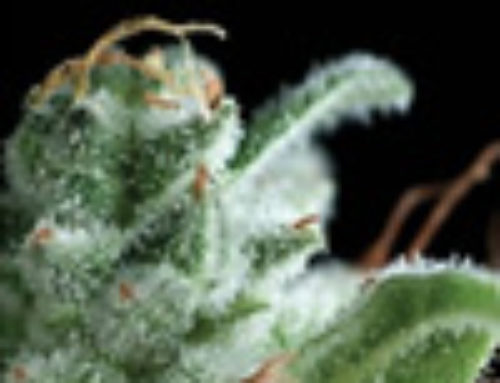 Osiris Marijuana Seeds — Strain Reviews — Pyramid Seeds