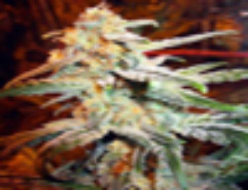 Auto Himalaya Diesel Marijuana Seeds – Strain Reviews – Omni Seeds