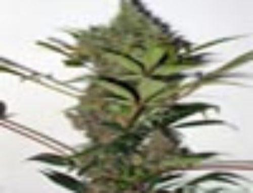 Rooie Marie Marijuana Seeds – Strain Reviews – Omni Seeds