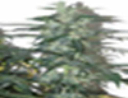 Sweet Mango Marijuana Seeds – Strain Reviews – Omni Seeds