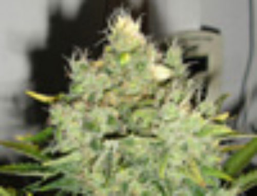 Pepper Jack Haze Marijuana Seeds – Strain Reviews — Black Skull Seeds