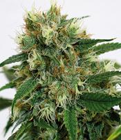 Phatt Fruity Marijuana Seeds
