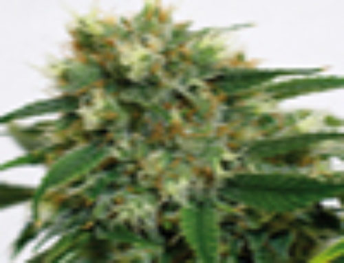Phatt Fruity Marijuana Seeds — Strain Reviews — Barney's Farm Seeds
