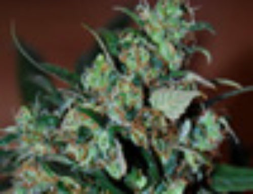 Power Bud Marijuana Seeds – Strain Reviews — Black Skull Seeds