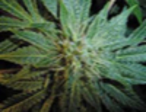 Puna Budder Marijuana Seeds – Strain Reviews – TH Seeds