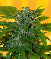 Romberry Marijuana Seeds