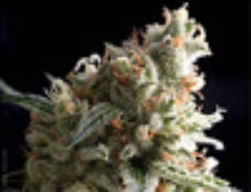Super Hash Marijuana Seeds — Strain Reviews — Pyramid Seeds