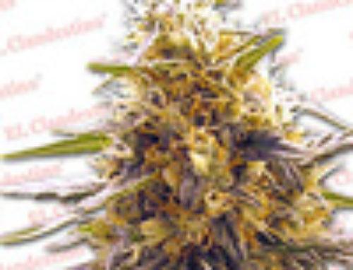 Swiss Miss X Skunk Marijuana Seeds — Strain Reviews — El Clandestino