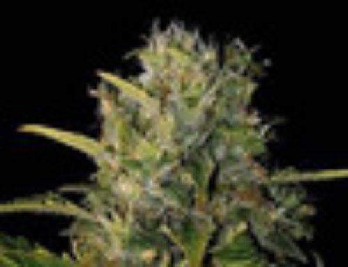 Santa Muerte Marijuana Seeds – Strain Reviews — Blim Burn Seeds