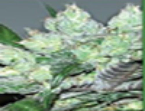 Serious 6 Marijuana Seeds – Strain Reviews – Serious Seeds
