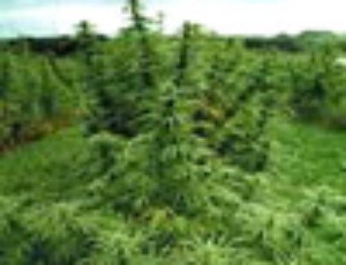 Shirin Gol Marijuana Seeds – Strain Reviews — Herbaria Seeds