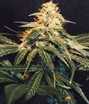 Ak48 Marijuana Seeds