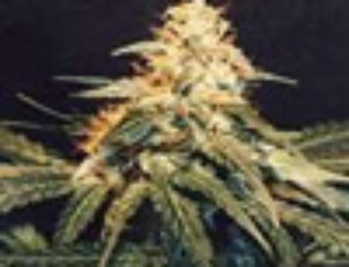 Shivas Joy Marijuana Seeds – Strain Reviews — Herbaria Seeds
