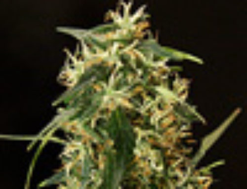 Silver Haze Marijuana Seeds – Strain Reviews — Rokerij Seeds