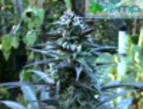 Silverdream Marijuana Seeds – Strain Reviews — BlueHemp Switzerland