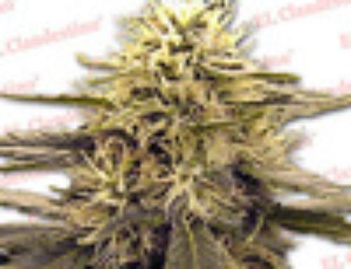 Skunk 44 Marijuana Seeds — Strain Reviews — El Clandestino