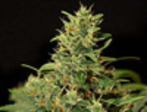 Skunk NL Marijuana Seeds – Strain Reviews — Rokerij Seeds