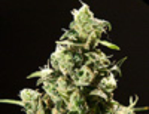 Sour Diesel Marijuana Seeds – Strain Reviews — Rokerij Seeds