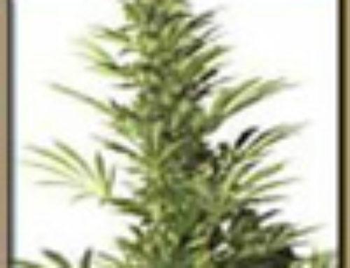 Skunk #1 xSouth African Marijuana Seeds — Strain Reviews — Cultivators Choice