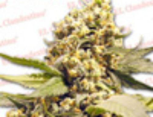 Super Skunk Special Marijuana Seeds — Strain Reviews — El Clandestino