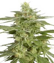 Swiss Ryder Marijuana Seeds