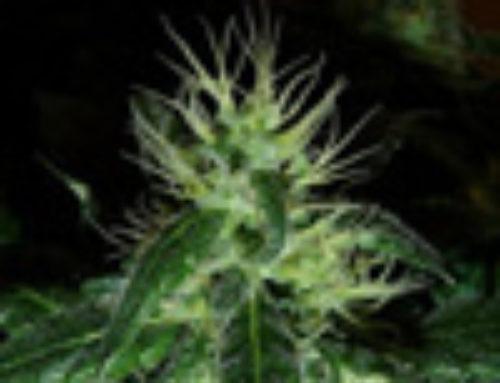 Tora Bora Marijuana Seeds – Strain Reviews — Reserva Privada