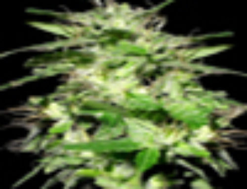 Tornado Weed Marijuana Seeds — Strain Reviews — Yardie Seeds