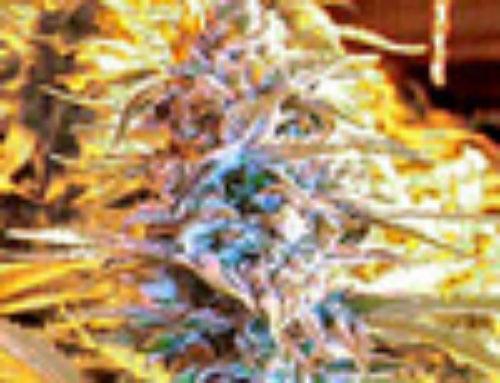 Urban Poison Marijuana Seeds – Strain Reviews — Sativa Seedbank