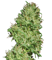 Utopia Haze Marijuana Seeds