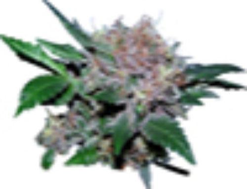Vertigo Marijuana Seeds – Strain Reviews – Vancouver Seed Company