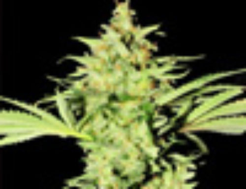 Vicky Peach Marijuana Seeds — Strain Reviews — Porno Seeds