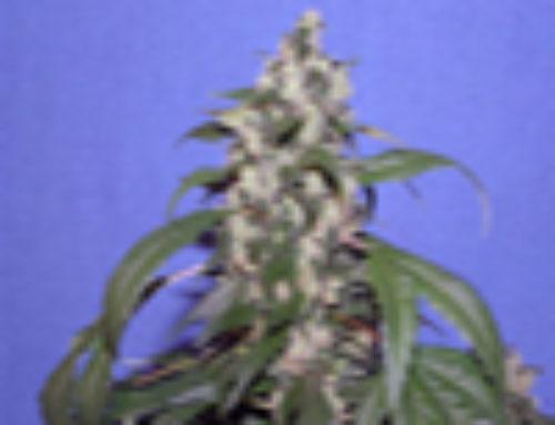 Virgin Marijuana Seeds – Strain Reviews – Vancouver Seed Company