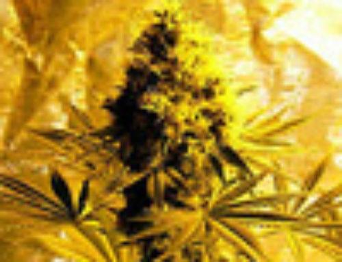 White Lady Marijuana Seeds – Strain Reviews — Sativa Seedbank