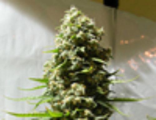 White Russian Marijuana Seeds – Strain Reviews — LowLife Seeds