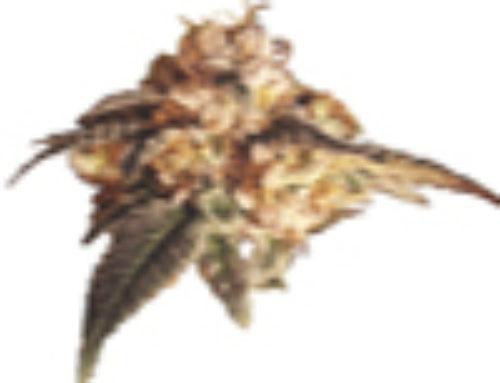 Y2K Marijuana Seeds – Strain Reviews – Vancouver Seed Company