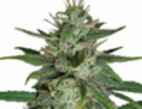A.D.D Marijuana Seeds — Strain Reviews — Next Generation Seeds