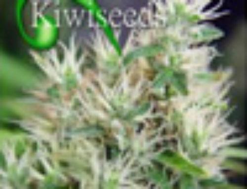 Alegria Marijuana Seeds — Strain Reviews — Kiwi Seeds