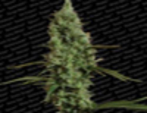 Atomical Haze Marijuana Seeds — Strain Reviews — Paradise Seeds