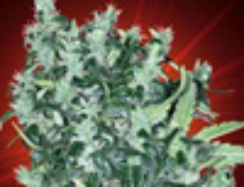 Cheese Tease Marijuana Seeds — Strain Reviews — Kaliman Seeds