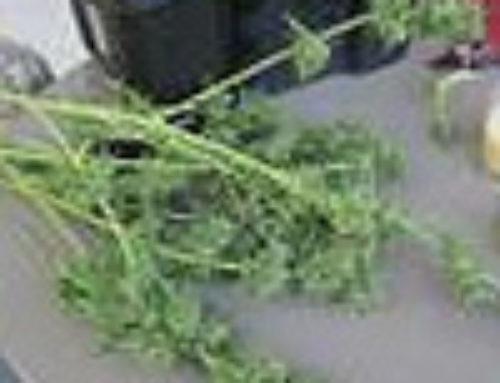 Critical Yumbolt Marijuana Seeds — Strain Reviews — Delicious Seeds
