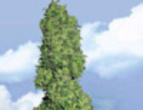 Dame Blanche Marijuana Seeds — Strain Reviews — Flying Dutchmen