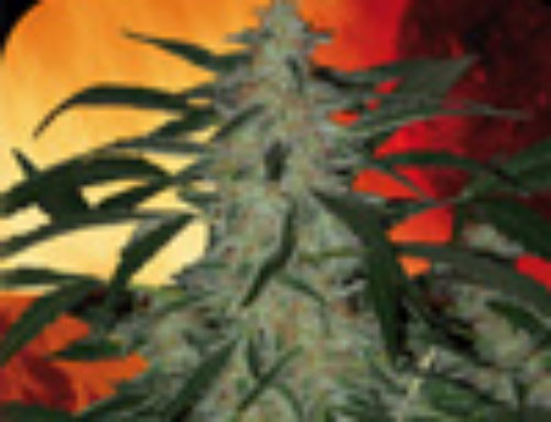 Deimos Marijuana Seeds — Strain Reviews — Buddha Seeds
