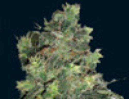 Goliath Marijuana Seeds — Strain Reviews — 7 Dwarfs Seeds